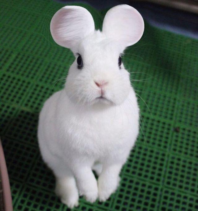 rabbit_mouse_ears 1