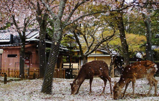 Sikahjortar i Naraparken