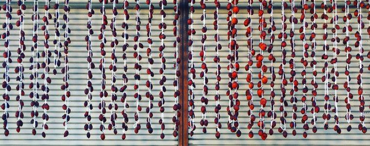 Persimmon fruit drying in the sun, Fukushima, Japan