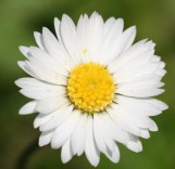 "Daisy ""innocence, purity"""