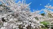 20210421 5K 桜満開 芦野公園 青森 SAKURA Cherry blossoms at ASHINO park AOMORI