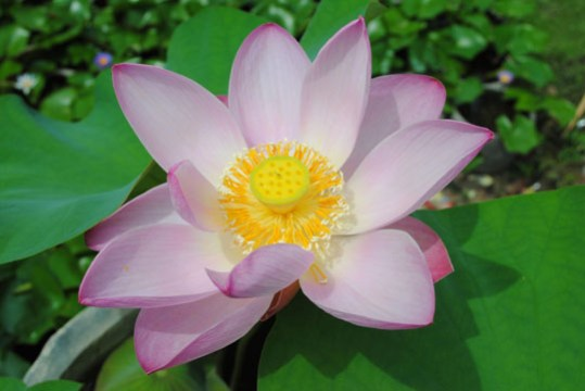 Lotus     showing the way to enlightenment   The Japan Times The lotus flower is not your average flower   it is a power flower    AMY  CHAVEZ