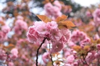 Kanzan-zakura in full bloom nearby the Shinjuku gate