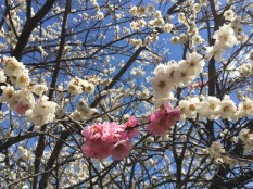 pink and while Ume blossom in one tree