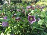 Xmas rose (Helleborus)