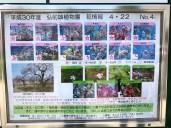 status per sakura variety