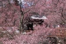 桜雲橋 Ounkyo - literally sakura cloud bridge