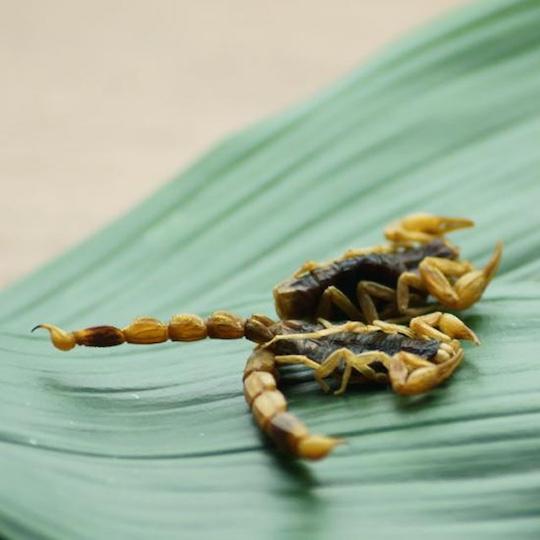 Takeo Tokyo Edible Armor Tail Scorpions Snack