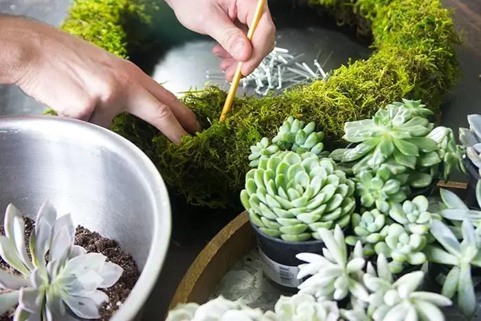 Inserir a suculenta no musgo