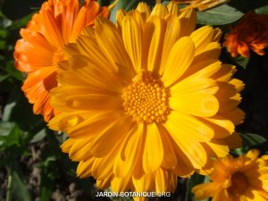 Calendula-officinalis-Souci-officinal