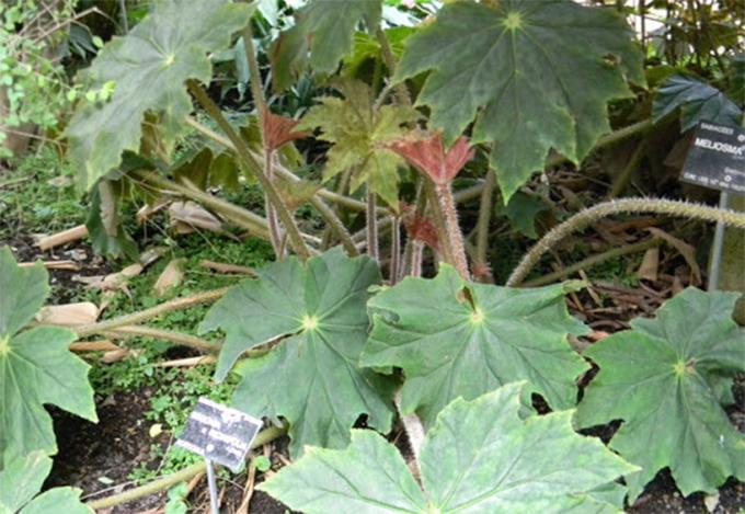 bégonias Ricinifolia