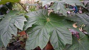 Begonia Ricinifolia