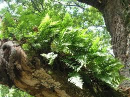 fougère epiphyte