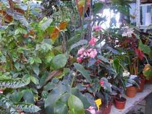 les bégonias du jardin exotique de cosy home