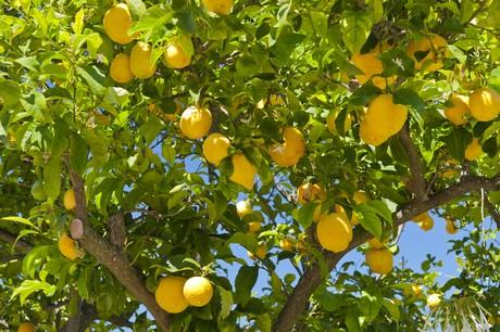 Citrus ×limon