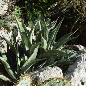Agave asperrima ssp maderensis