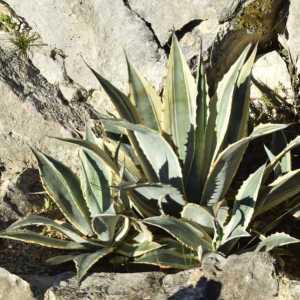 Agave cordillerensis albomarginata