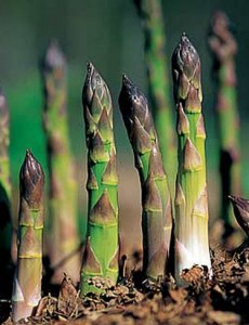 asperge jardin potager