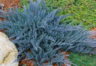 les coniferes rampants et couvre sols