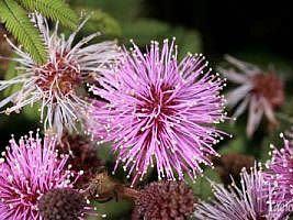 Mimosa flocculosa, Bracaatinga-rósea, Bracatinga-de-campo-mourão, Bracatinga-rosa, Jurema