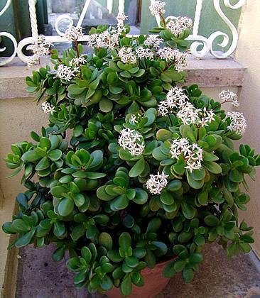 Resultado de imagem para planta jade