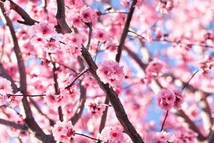 cerisier du japon plantation taille
