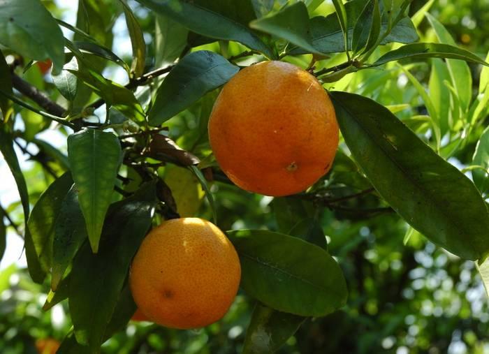 Clementinier Plantation Entretien Taille Et Recolte