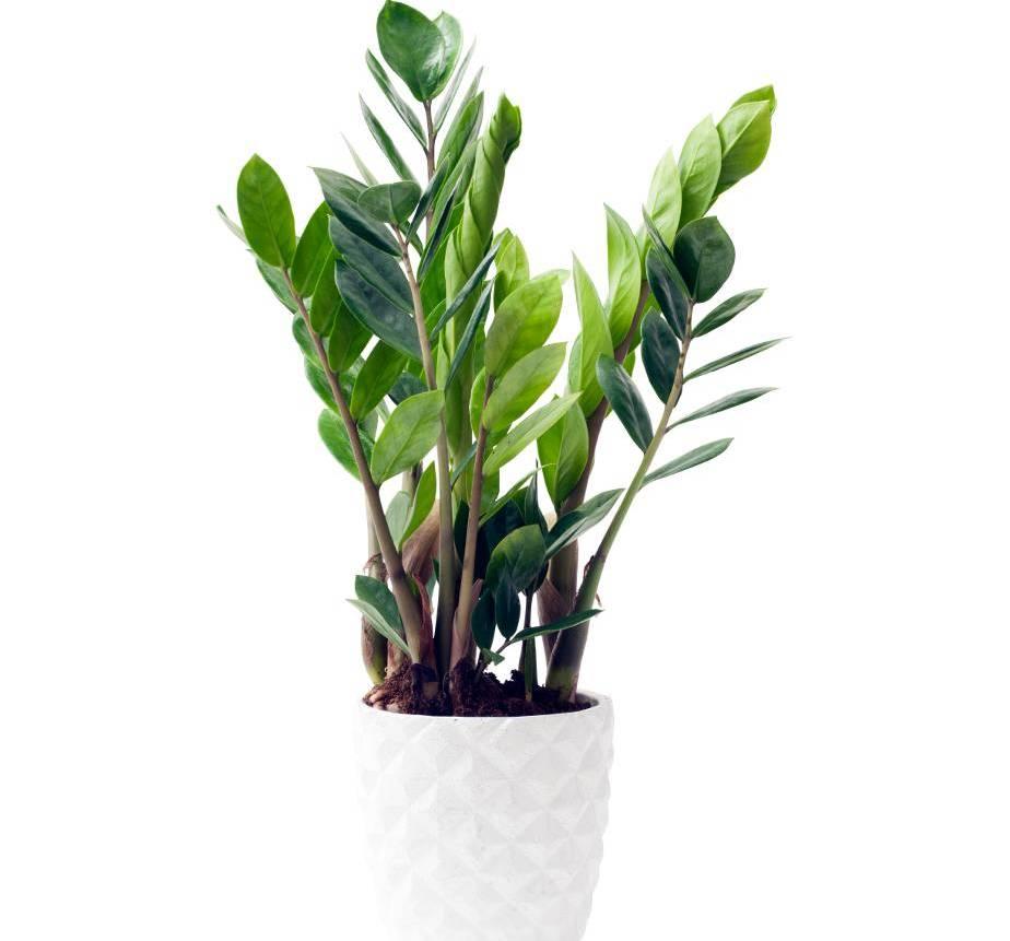 Zamioculcas Plante Zz Tous Les Conseils D Entretien