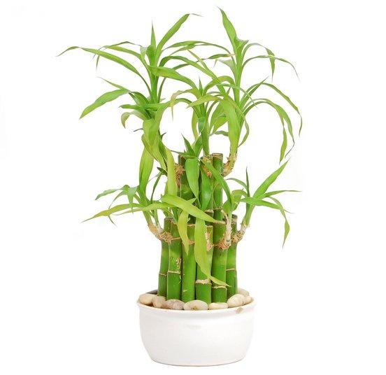Lucky Bambou Exposition Arrosage Et Conseils D Entretien