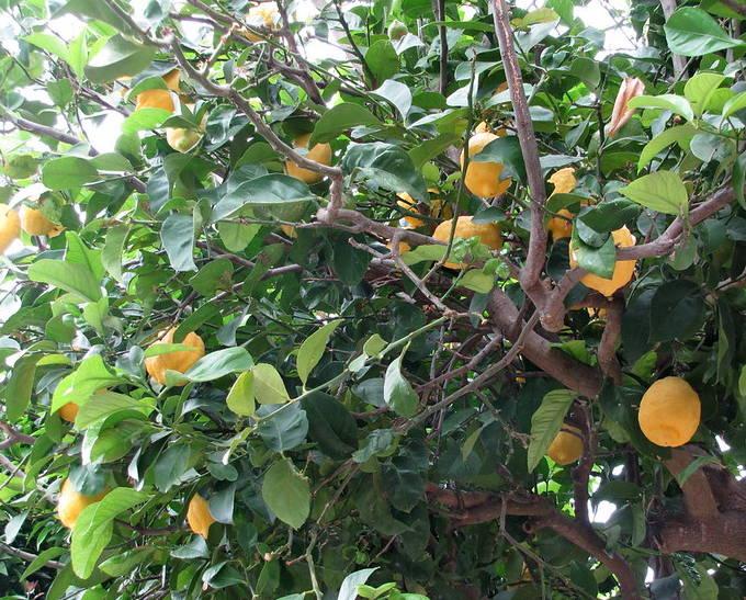 citronnier des 4 saisons conseils d
