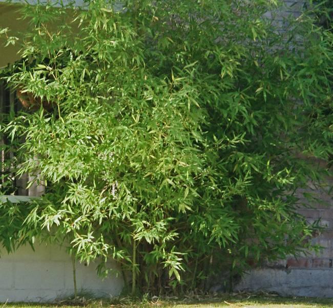 bambou plantation arrosage et
