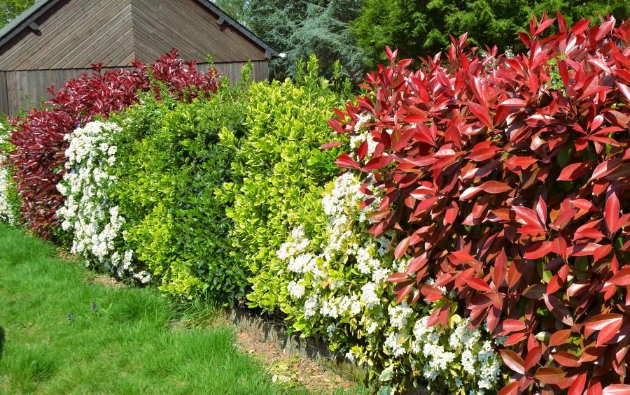 haie variee 12 arbustes fleuris