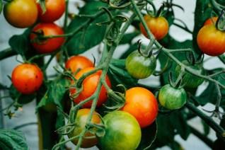 Tomates balcon