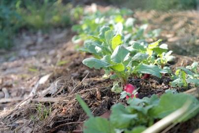 culture du radis à l'ombre