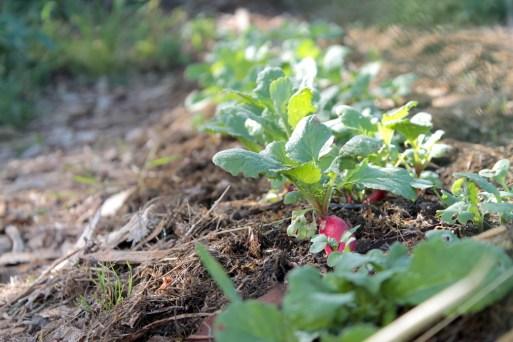 semis radis