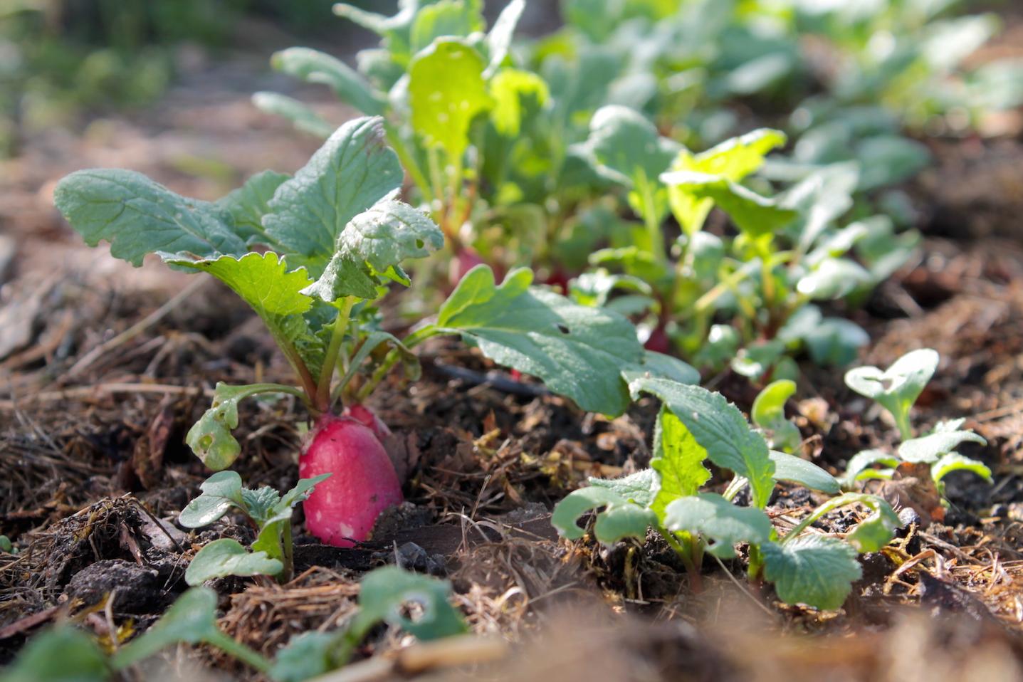 Culture Et Entretien De La Rhubarbe 5 légumes à cultiver à l'ombre - jardiner futé en permaculture