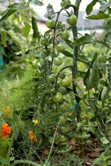 association oeillet d'Inde et tomate cerise