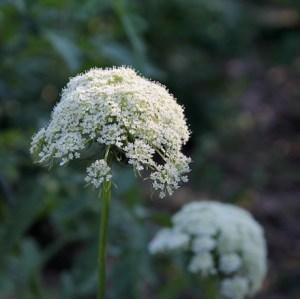 Fleur carotte graine récolter août