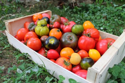 récolte tomate mois août jardin potager