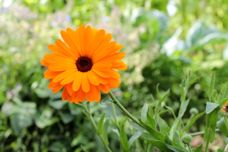 soucis fleur récolte septembre