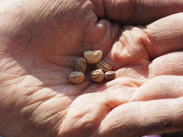graines de capucine