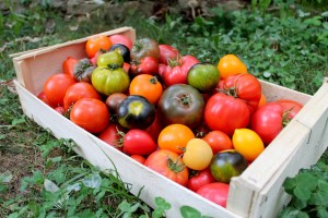 Cagette pleine de tomates de différentes variétés