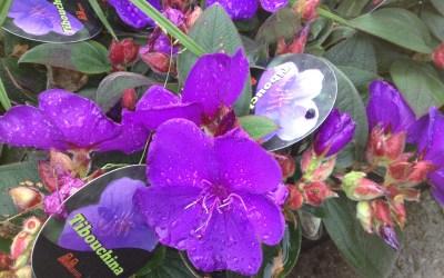 La tibuchina, una planta para el verano