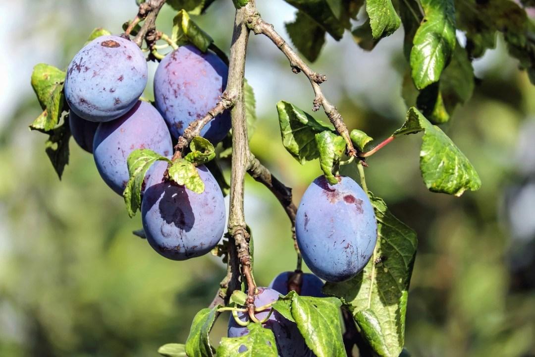 Plum is an ideal fruit tree for limestone soil