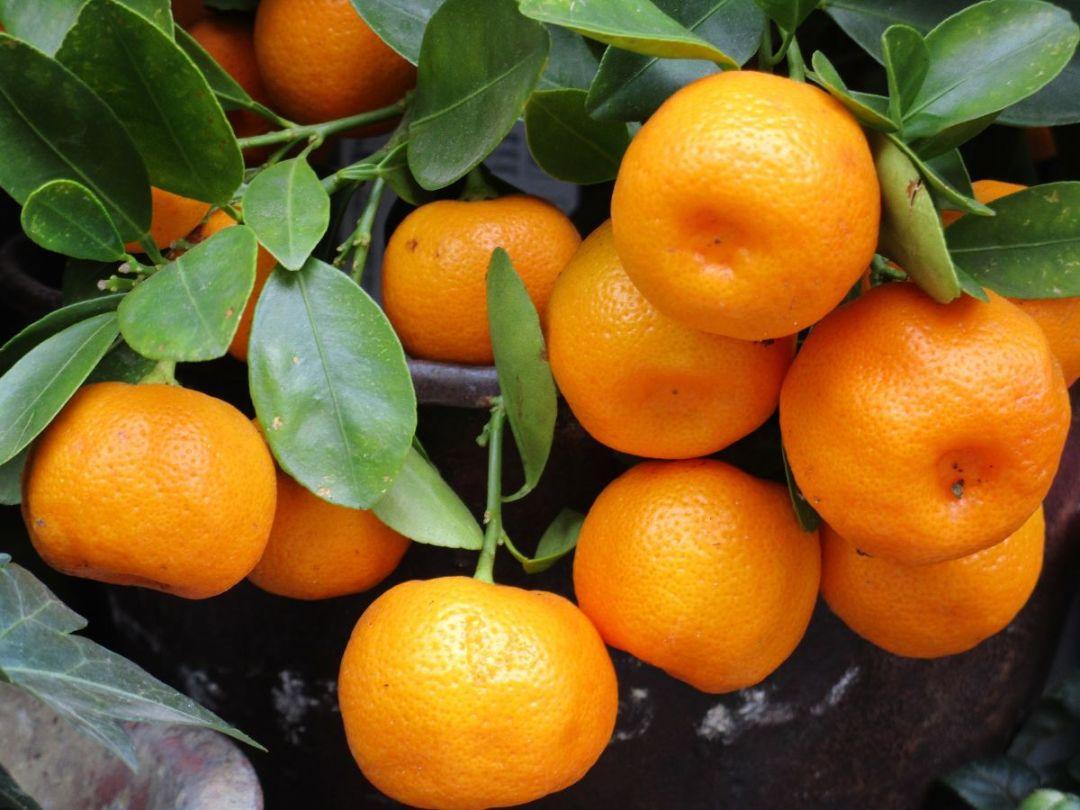 Main characteristics of the mandarin tree