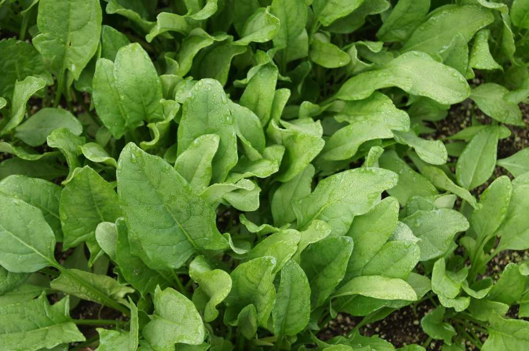 Spinach, herbs that can be grown in a pot