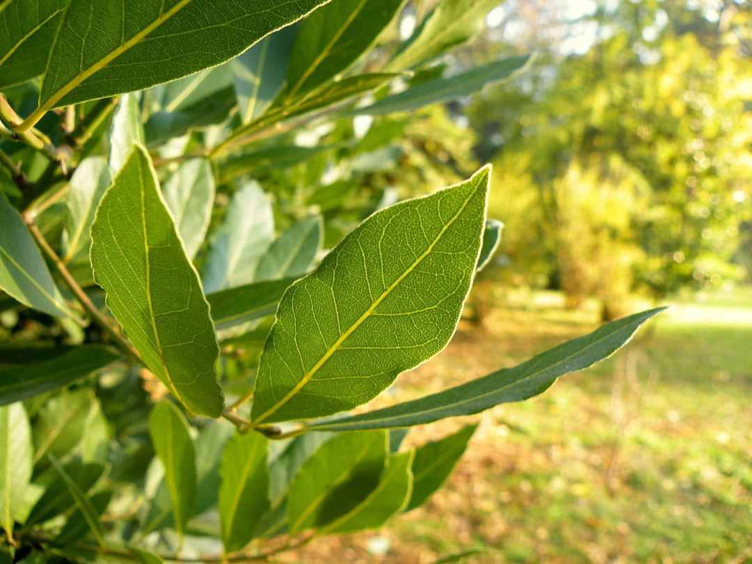 Laurel is an evergreen