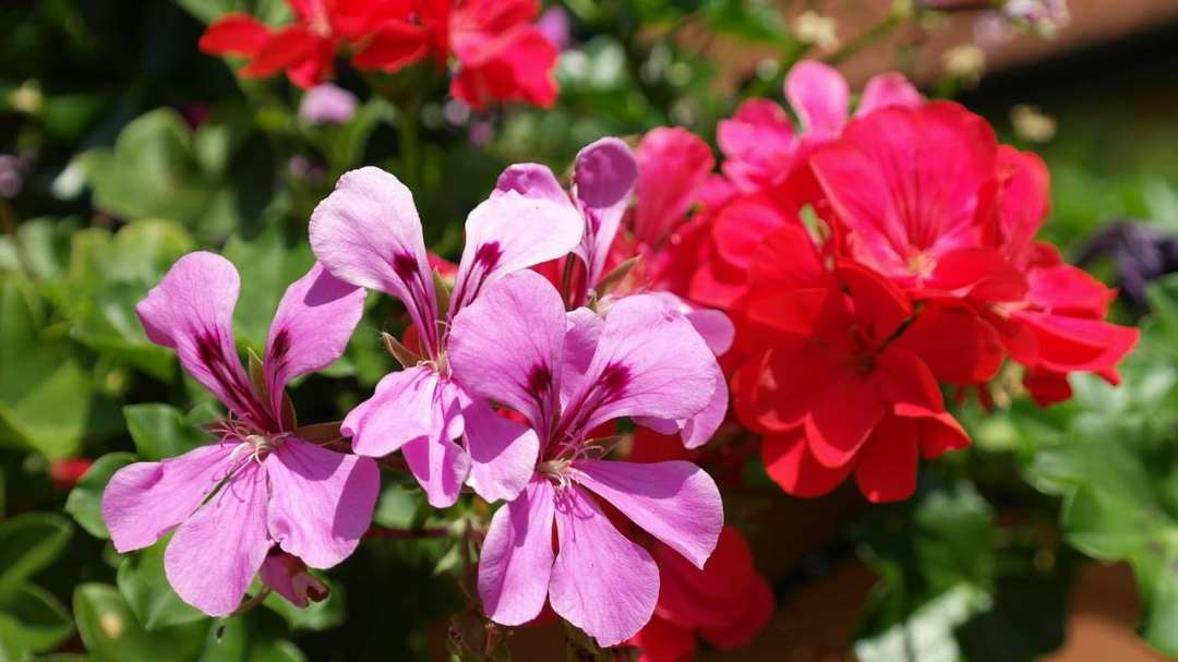 Group of blooming geraniums