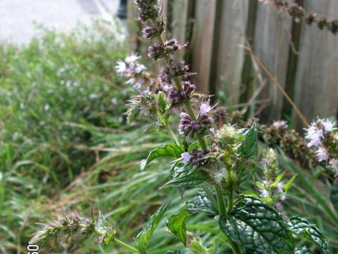 Mentha Spicata o comúnmente llamada hierbabuena o yerbabuena