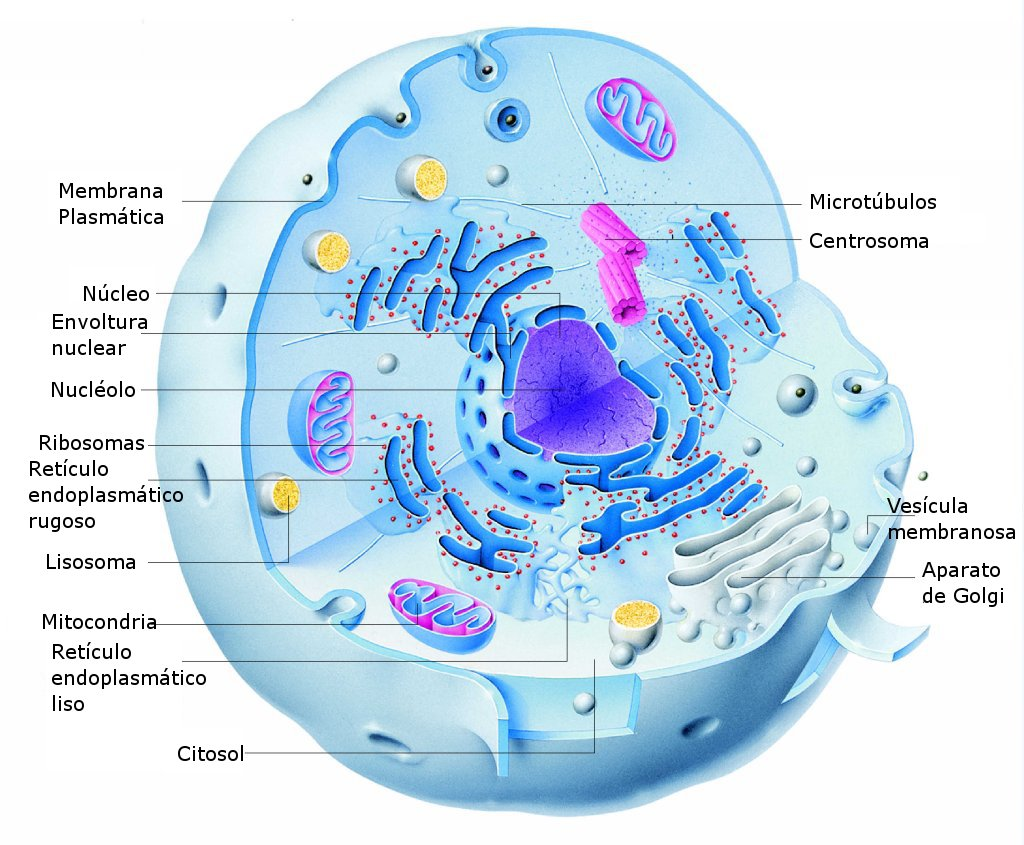 Structure of an animal cell